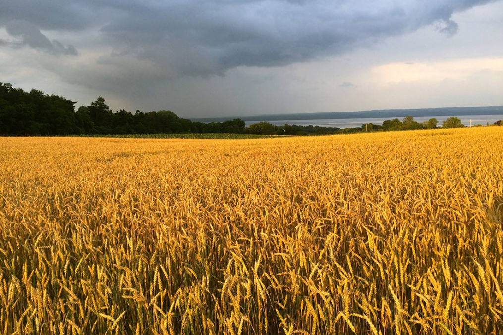 A field of wheat on Lakeview Organic Farm, owned by Klass and Mary-Howell Martens.